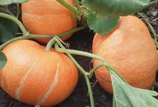 Урожай тыквы Россиянка
