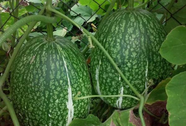Овальные вытянутые плоды тыквы
