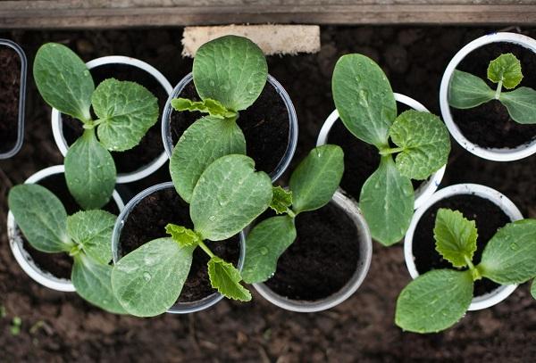 Рассада и семена тыквы