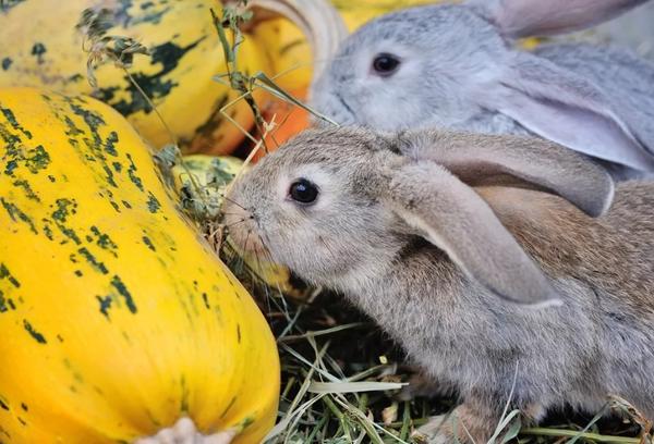 Тыква крольчатам