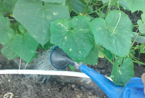 Ручной полив тыквы