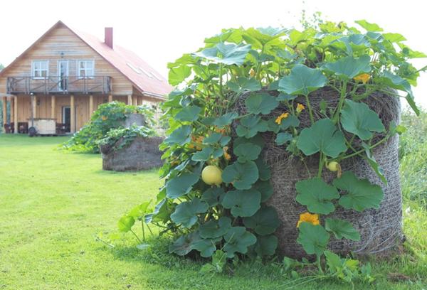 Выращивание тыквы в мешках