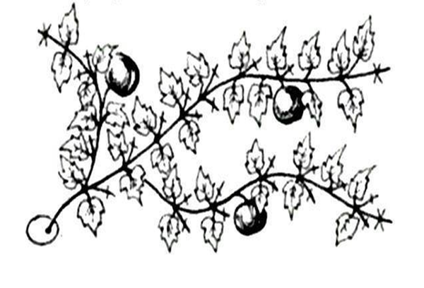 Формирование тыквы в три плети