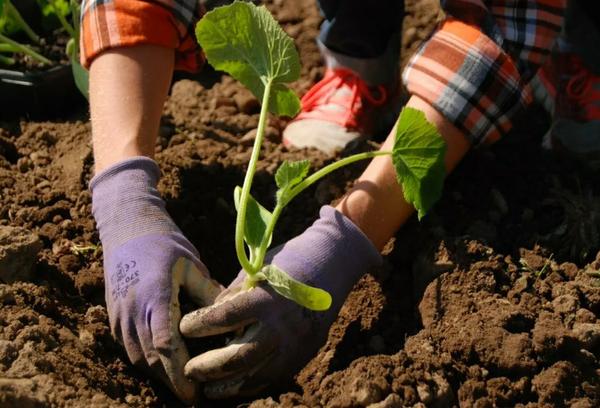 Высадка рассады тыквы в грунт