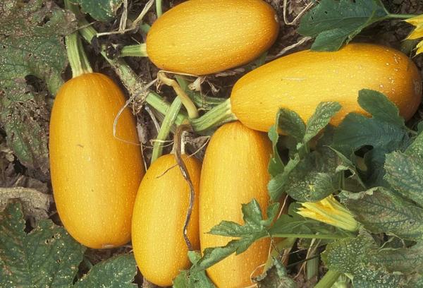 Выращивание тыквы спагетти