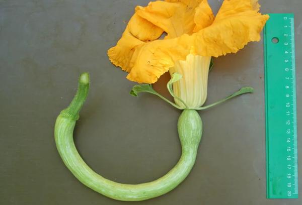 Цветок тыквы тромбон