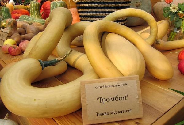 Мускатная тыква тромбон
