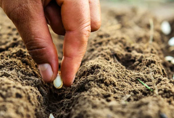 Посадка тыквы семенами в грунт